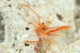 Earle'sboxershrimp010512.jpg