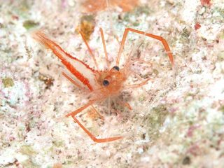 earle'sboxershrimp010312.jpg